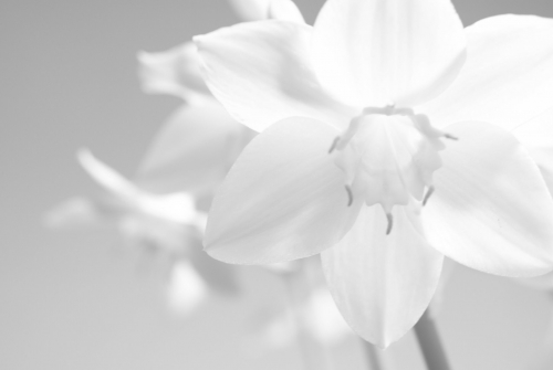white color lilly flower wallpaper other